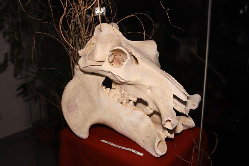 Výstava Afrika (aneb už jste viděli lebku hrocha?)